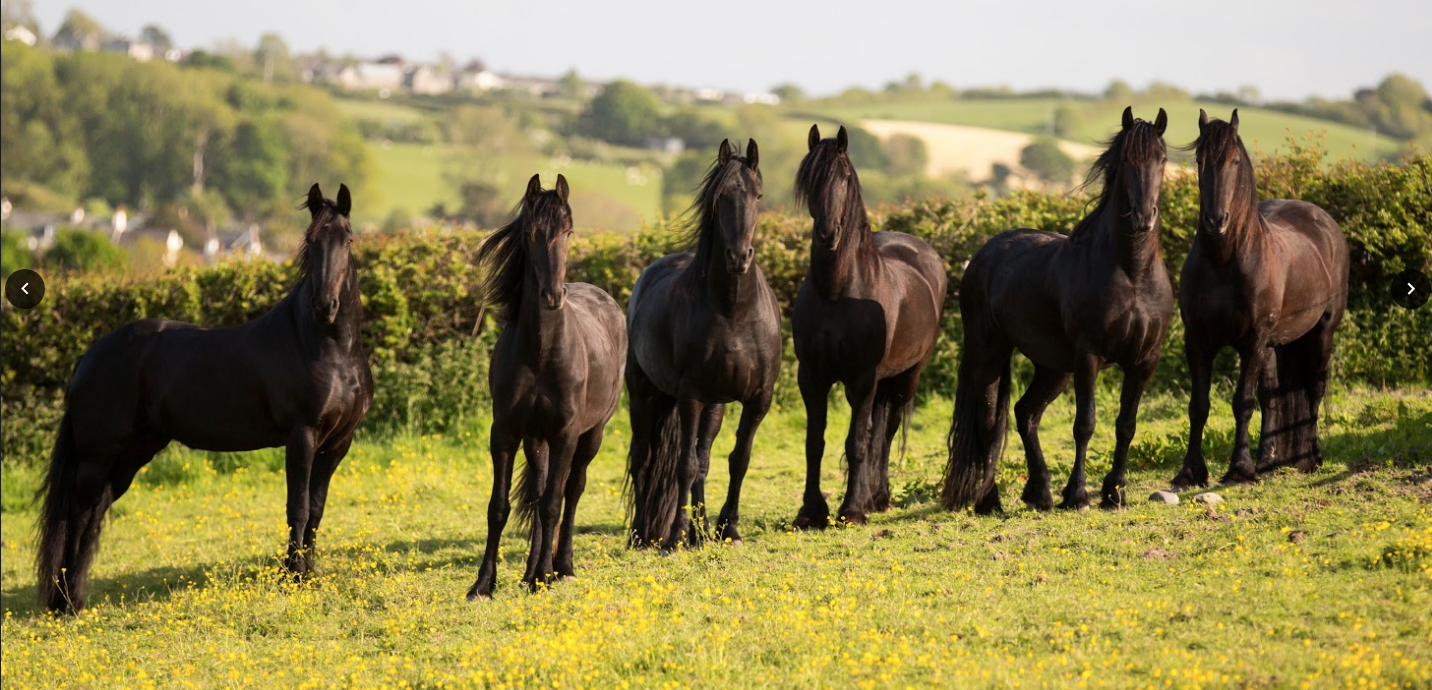 Black Horses Ltd – The Friesian Experience