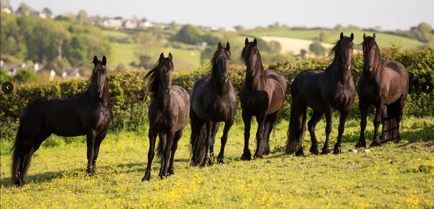 Black Horses Ltd – The Friesian Experience